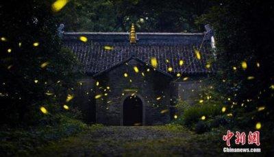 揭萤火虫贩卖产业链 养殖存在难题基本都是野外捕捉的