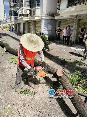 龙岩新罗区中城街道梅林社区一棵大树太茂盛 威胁到居民安全
