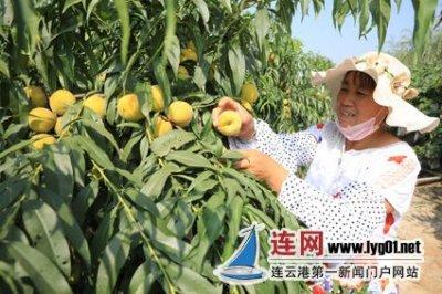连云港赣榆区石桥镇农民在黄桃基地采摘黄桃