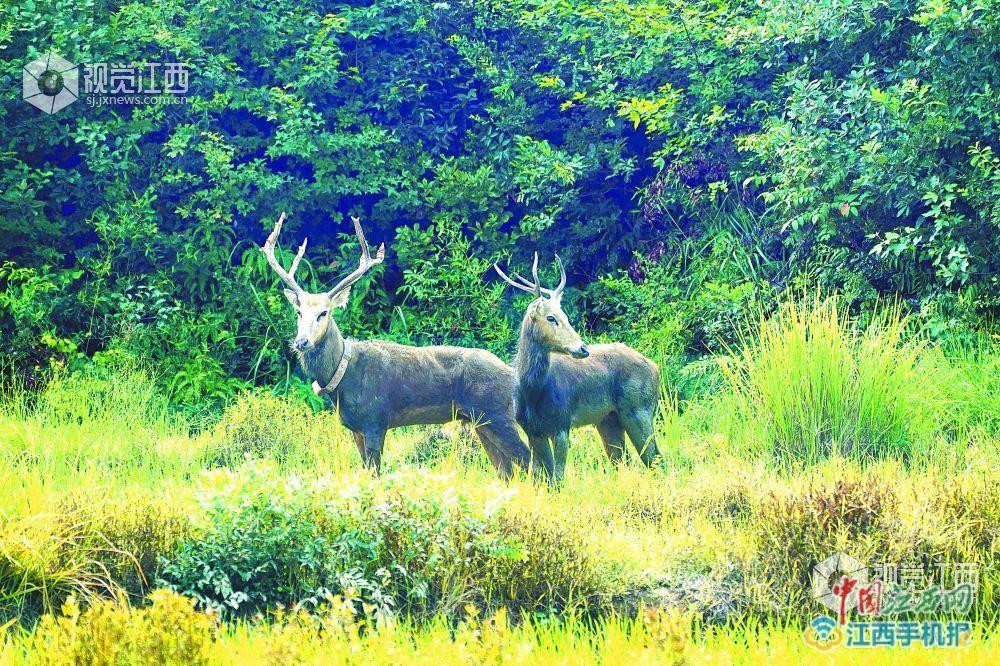 上饶余干山区首次发现麋鹿踪迹