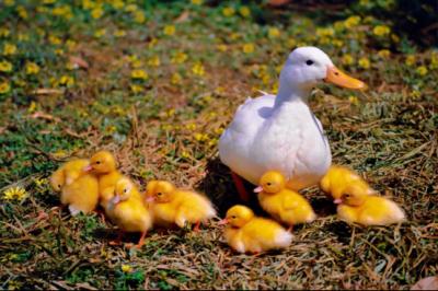 """宝象金融:深化""""合作社+""""模式助力绿色环保肉鸭产业链"""