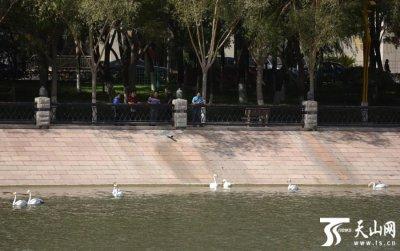 新疆库尔勒市孔雀河已经飞来9只天鹅
