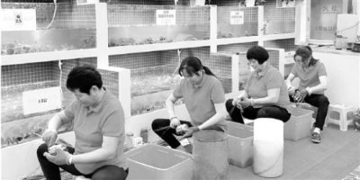 杭州捆蟹大妈生意忙 平均一天能捆3000只螃蟹
