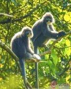 云南陇川县勐约乡邦瓦山樱花谷发现国家一级重点保护动物菲氏叶猴群