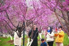 合肥滨湖新区金斗公园9个品种8000多株梅花陆续进入盛开期