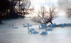 伊犁天鹅泉越冬天鹅数量创历年之最 今年最多时有333只