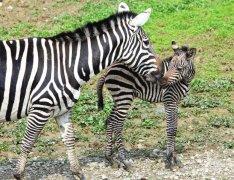 苏州上方山森林动物世界诞生小斑马 二十五年来首次