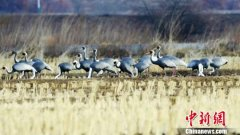 吉林珲春敬信湿地近日迎来近50只白枕鹤