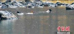 吉林长白山区域北归中华秋沙鸭数量明显增多 数量约50对