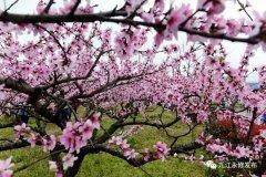 第十三届永修凤凰山桃花节开幕 预计将持续到4月中旬
