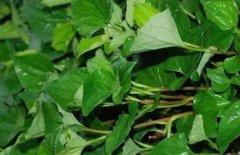 清鼻堂:一种草有腥味,治鼻炎却是一把好手