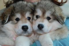 克隆犬仅需4个月 你会克隆自己的狗狗吗?