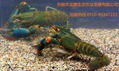澳洲龙虾首次在无锡市繁育成功