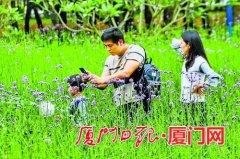 厦门湖里区忠仑公园柳叶马鞭草悄然盛开 花期将持续至6月底