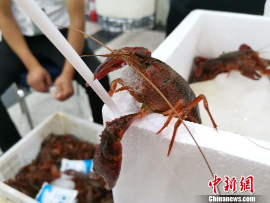 图为鱼台小龙虾。 郝学娟 摄