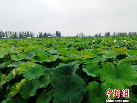 资料图:鱼台县王鲁镇孟楼村合作社藕虾共作的荷塘。 郝学娟 摄