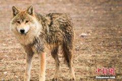 西伯利亚东部发现具有4万年历史狼头 牙齿和皮毛保存完好