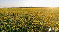 新疆克拉玛依市乌尔禾区三千亩向阳花竞相绽放 吸引不少疆内外游客前往观览