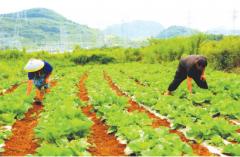 清镇900万斤蔬菜直供贵阳市区 纯收入达200余万元
