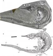 巢湖动物群发现鱼龙新物种短腿巢湖龙