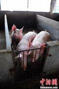 海南省生猪存栏158.98万头 种猪存栏21.34万头