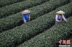 2020年贵州春茶产量与往年相比将有大幅提高