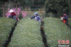 贵州茶产业已全面复工复产 各地茶叶生长态势良好