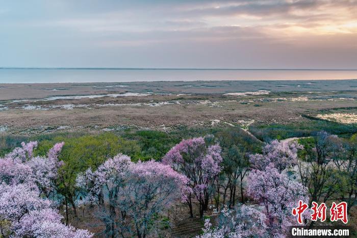 兴凯湖湖岗上,生长着百年野生杏树。 王妮娜 摄