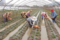 宜兴市广大草莓种植户正在抓紧排苗 今年种植面积将稳定在7000亩左右